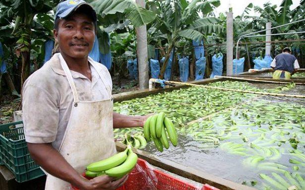 Exportarán plátano veracruzano a China