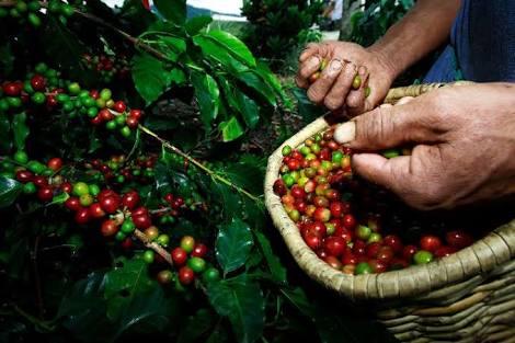 El 40% de la planta de café renovada se pierde por falta de nutrición de los suelos