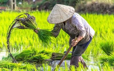 Veracruzanos consumimos arroz vietnamita