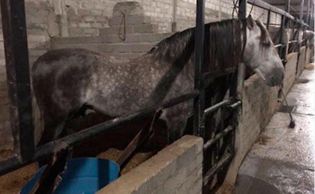 Recuperan caballos Domeq tras cateo a rancho de Los Rojos en Puebla