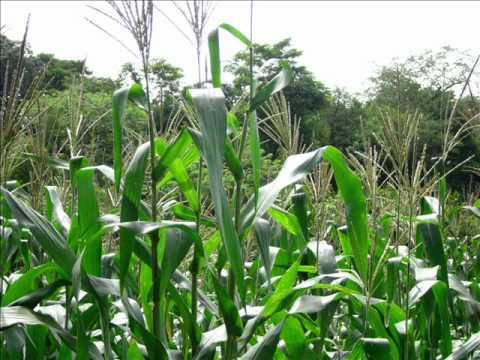 Protegen contra el pulgón a 900 hectáreas de sorgo y maíz
