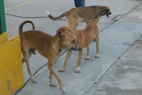 Continuarán campañas de esterilización  de mascotas en el Oriente