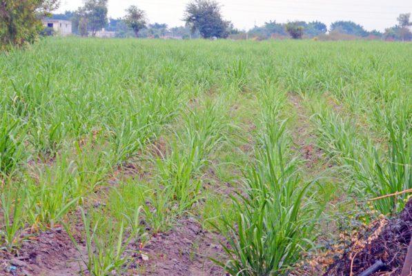 SEQUÍA EN canales pone en peligro el cultivo de caña. Foto: GUDE SERVÍN