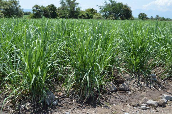 Implementarán riego por goteo en campos de Axochiapan