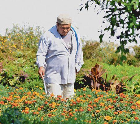 Los cuidados que se da a la flor la ayudan a conservar su aroma que, según la creencia popular, atrae a los muertos a las ofrendas que se les ponen al inicio de noviembre.