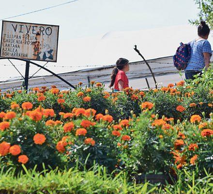 Los viveros en Tetela del Volcán cambian sus cultivos en estas fechas para atender la demanda de la flor en sus diversos matices, amarillo, naranja y hasta rojo.