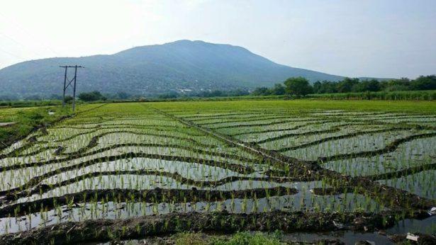 Destaca arroz morelense en México