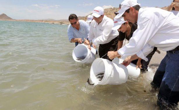 Rescatan a la totoaba en la costa de Hermosillo