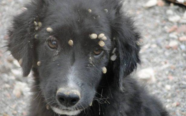Infestación de garrapatas en perros callejeros de Hermosillo