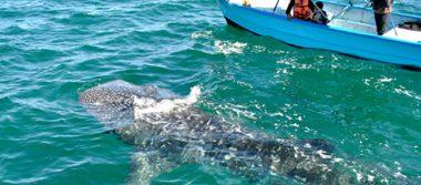 Capacitan a guías del avistamiento del tiburón ballena