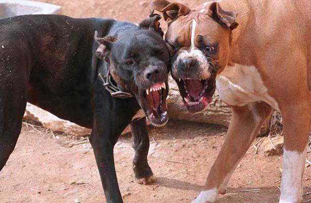 Buscan que peleas de perros se tipifiquen como delito grave