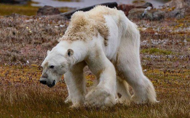 [Video] Registran la agonía de un oso polar por consecuencia del cambio climático