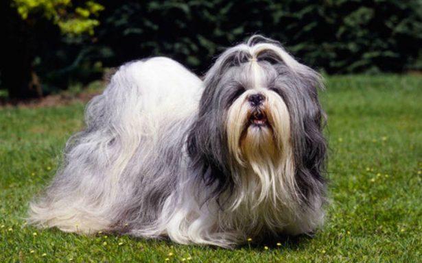 Detienen a tres por robar un perro con valor de casi 30 mil pesos en la GAM