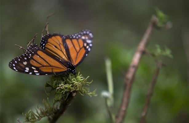 Abren santuarios de la Mariposa Monarca