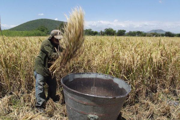Se ven afectados productores de arroz por problemas financieros