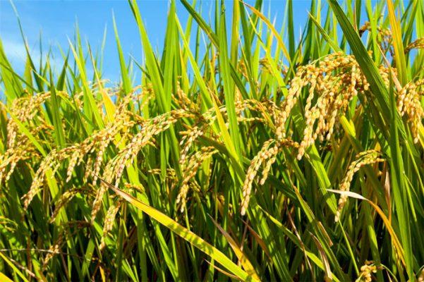 Encuba Morelos arroz