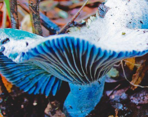Bosque de los hongos azules