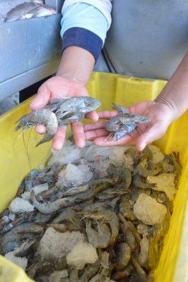 Prevén aumento al camarón cristal