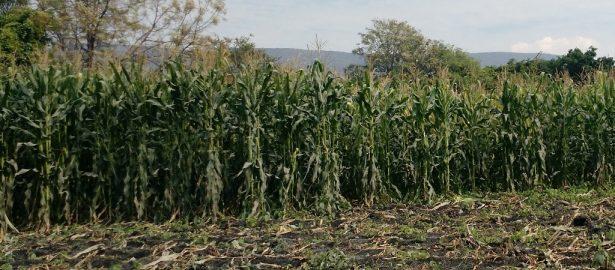 No es rentable el cultivo de maíz