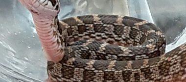 Víbora ratonera inquieta a vecinos de Santa María