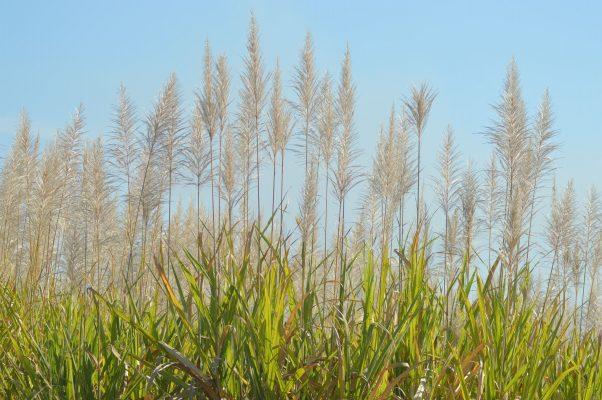 Certifican arroz Morelos