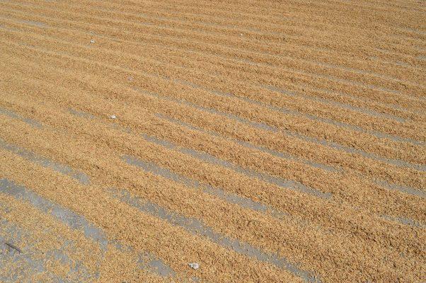 Va arroz morelense por mercados internacionales