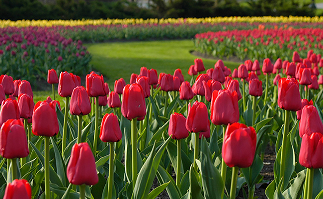 Exhiben en Ottawa un millón de tulipanes como símbolo de paz