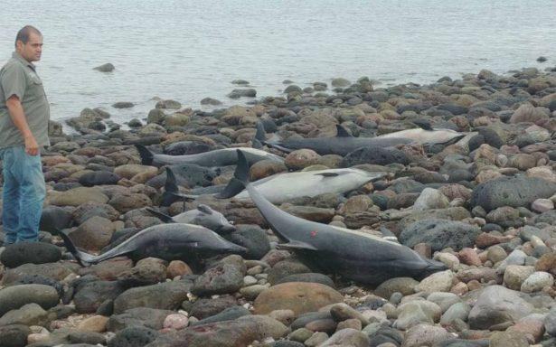 Se varan 54 delfines en Pichilingue, BCS; casi la mitad no sobrevivió