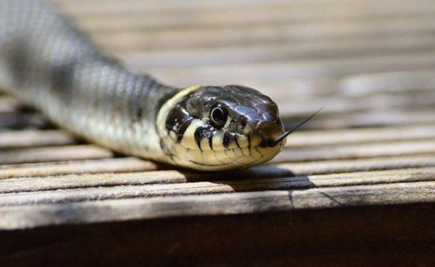 Encantador de serpientes muere tras ser mordido por una de ellas