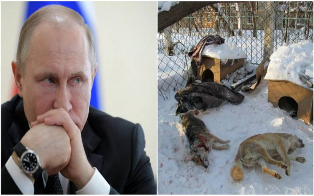 """Instan a Putin a detener la """"sangrienta masacre"""" de perros callejeros por Mundial"""