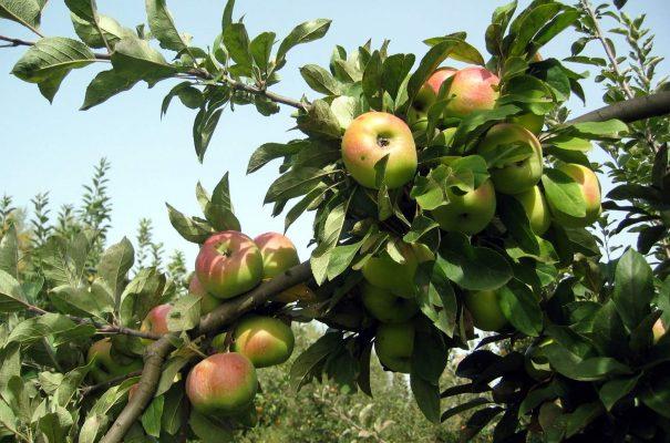 Inició el combate a la palomilla del manzano 2018 en la región frutícola de NI