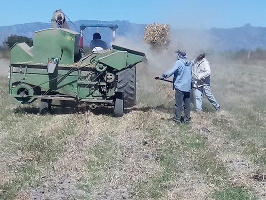 Campesinos de G.V. malbaratan cosecha de frijol