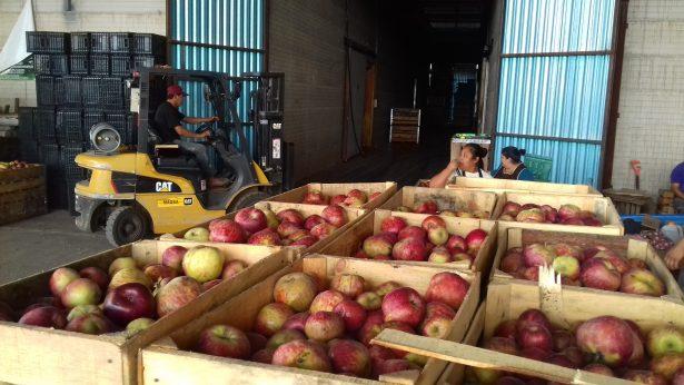 El 11% de la manzana refrigerada, desplazada ,en Integradora Regional