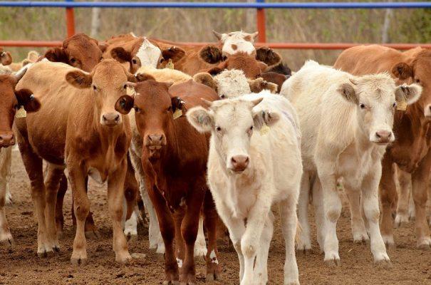 Invasión de ganadodegrada los suelos