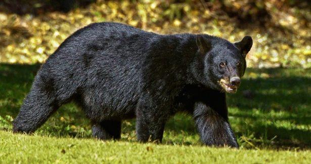 Menor de 3 años es atacado por un oso en Tepehuanes