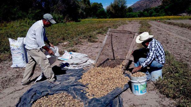 Iniciaron las siembras de cacahuate en Rodeo