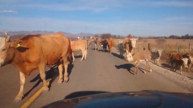 Ganadería de Rodeo empieza a resentir la sequía