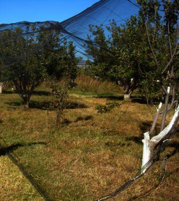 Colocarán malla antigranizo a 91 has. de manzano, en Canatlán
