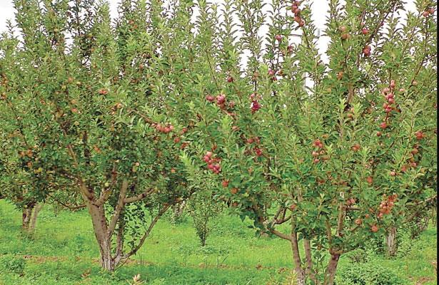 Fruticultorestemen bajaproducciónde manzana