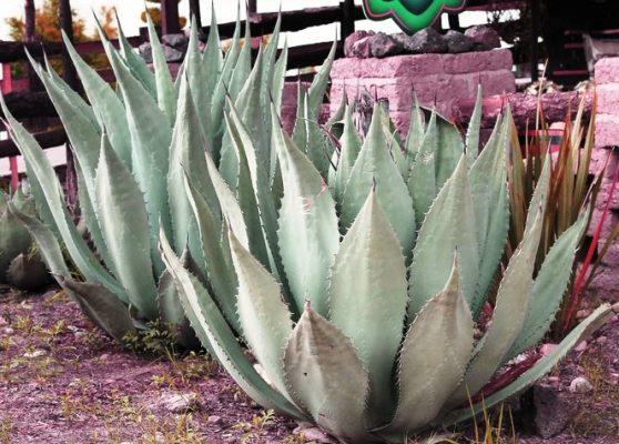 Se necesitan 5 millones de plantas de agave al año para regenerar: Conde