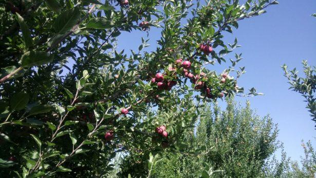 Preocupa a productores de Manzana granizada de los últimos días