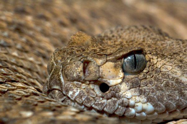 Reporta SS 10 casos de mordedura de serpiente