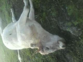 Ganaderos no atienden indicaciones para prevenir muerte en animales: SAGDR