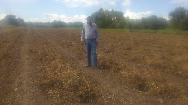 Las lluvias retrasan la cosecha de cacahuate en Rodeo