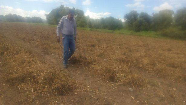 Cosecha de cacahuate en Rodeo inicia con dificultades por el clima