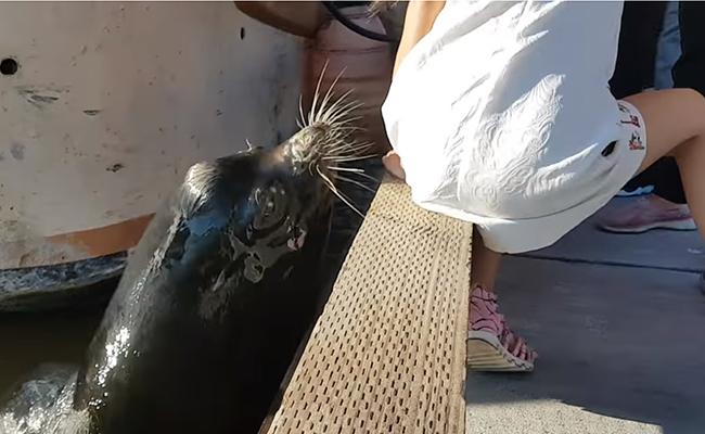 Lobo marino muerde a niña y la jala al agua