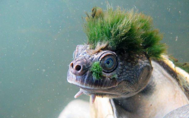 Inusual tortuga que respira por su trasero entra a la lista en peligro de extinción