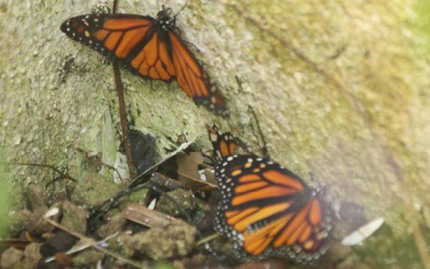 Hasta las mariposas le temen a Trump; disminuye arribo de monarcas a México