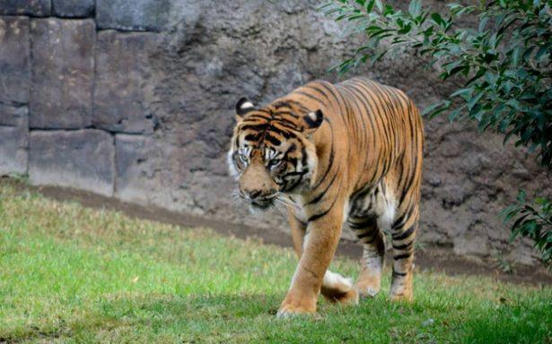 Tigre mata a empleada de plantación de aceite de palma en Indonesia