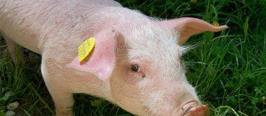México responde a EU con aranceles del 20% a carne de cerdo